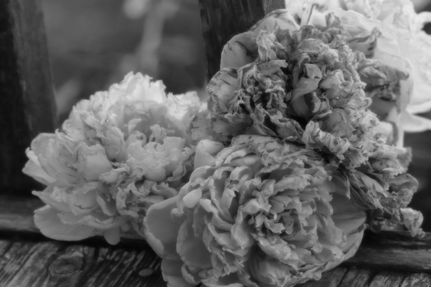 Peony Cluster In Various Stages - Soft Black And White Version