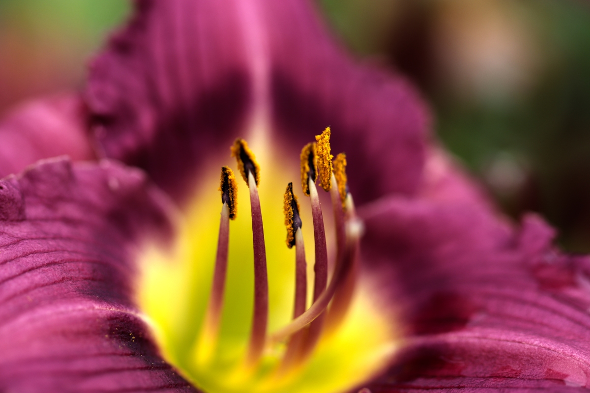 Center of Purple and Yellow Daylily