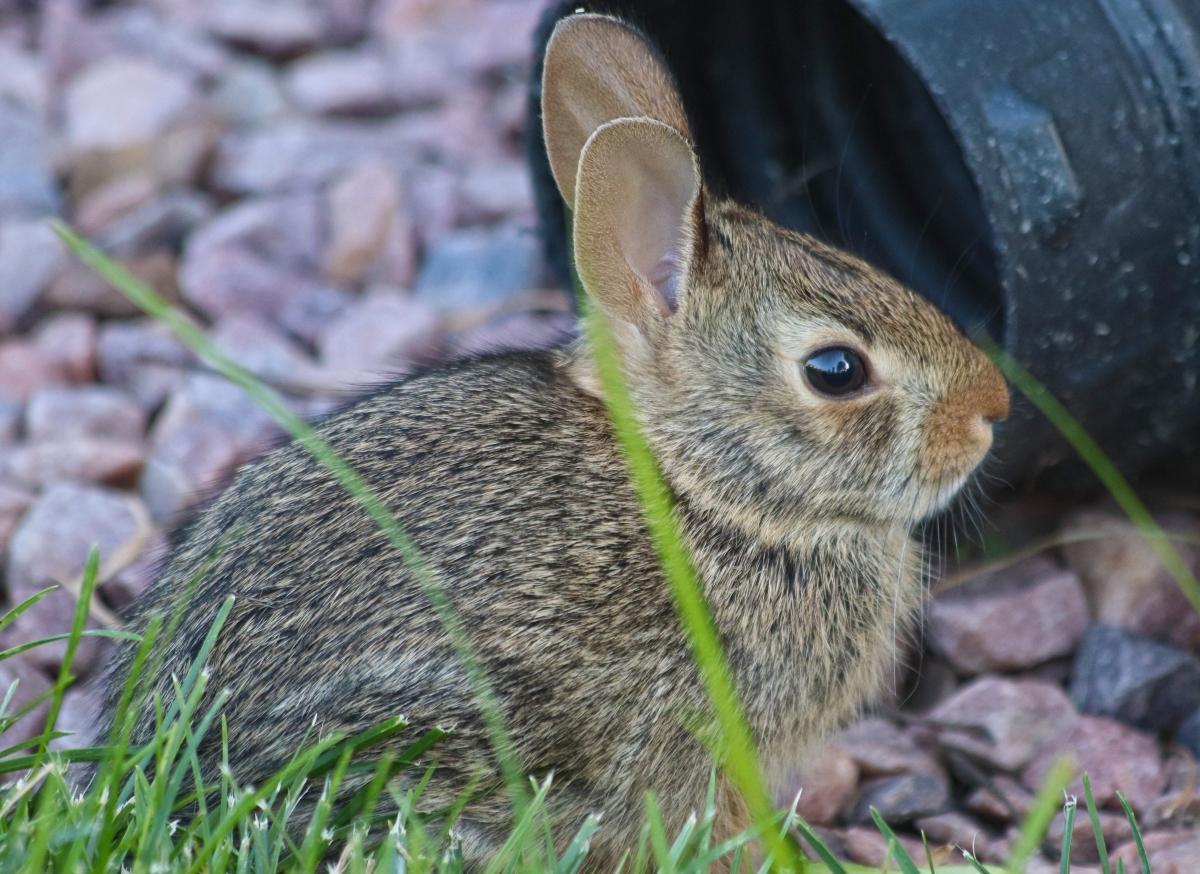 Watchful Bunny Rabbit