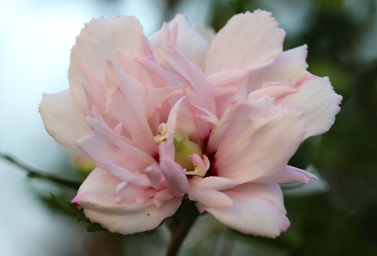 Pale Pink Rose Of Sharon