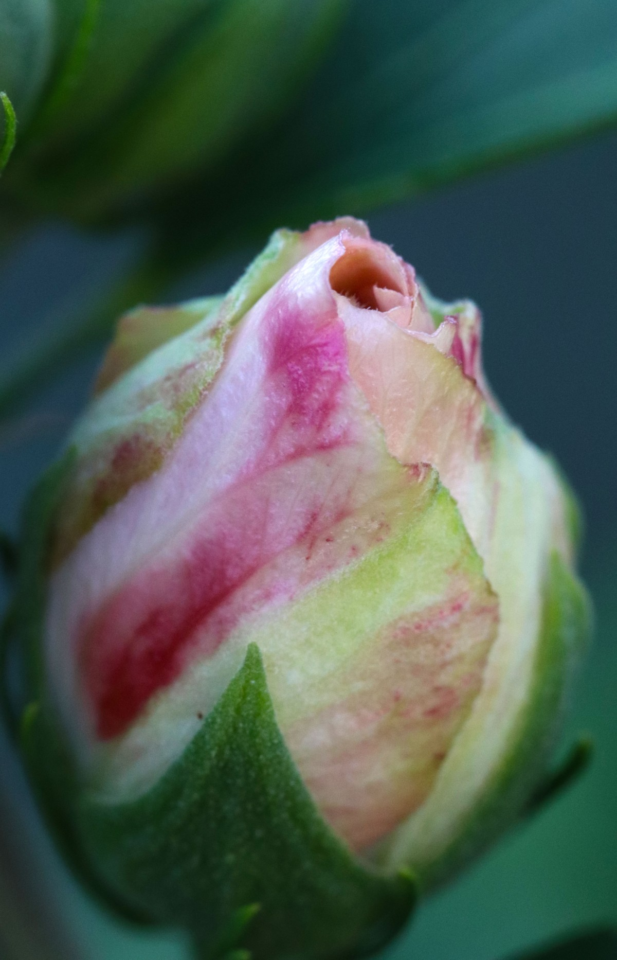 Shades of Pink Rose Of Sharon Bud