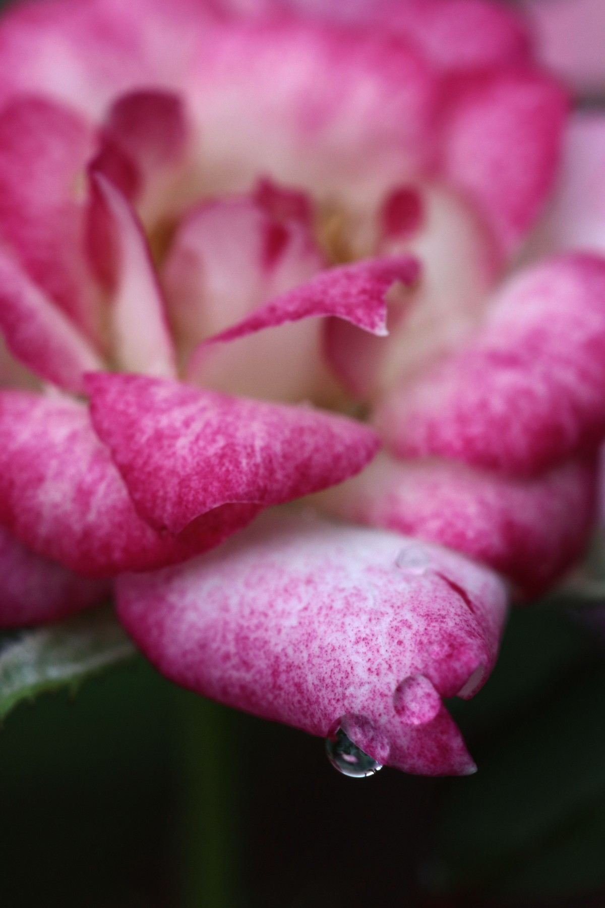 Speckled Rose