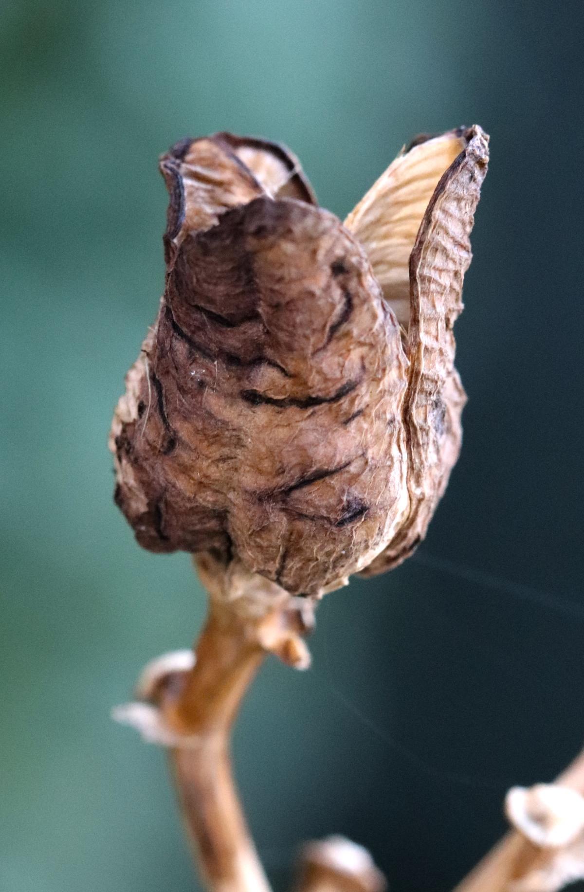 Daylily Seed Pod