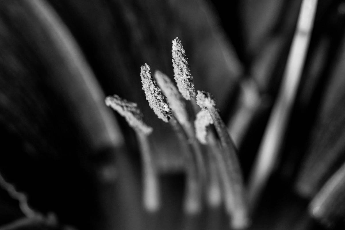 Black & White DaylilyStamen