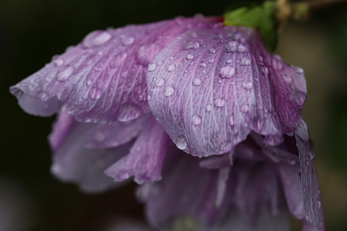 Rain Drenched Rose of Sharon