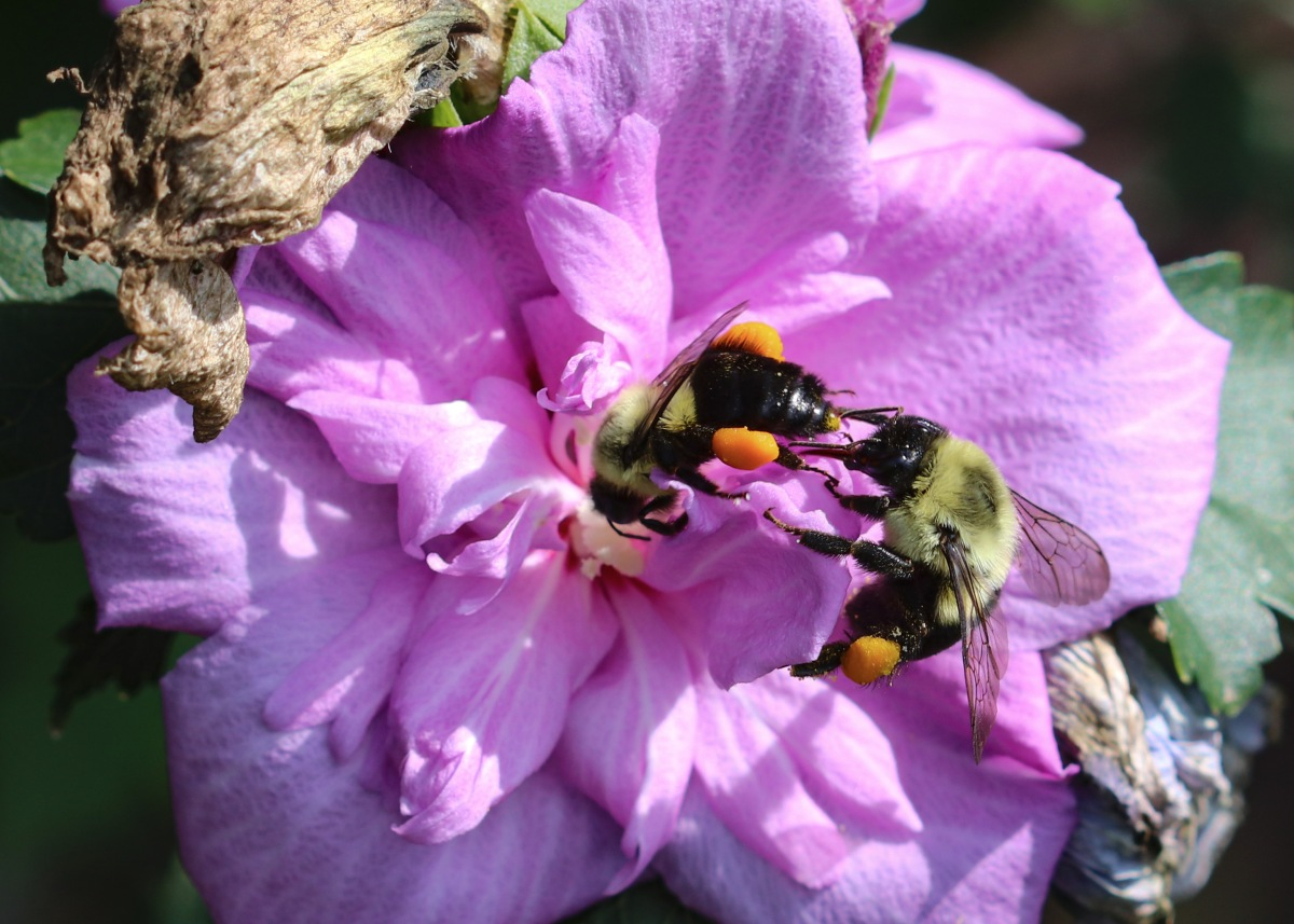 Bumblebees Collecting Pollen On Rose of Sharon
