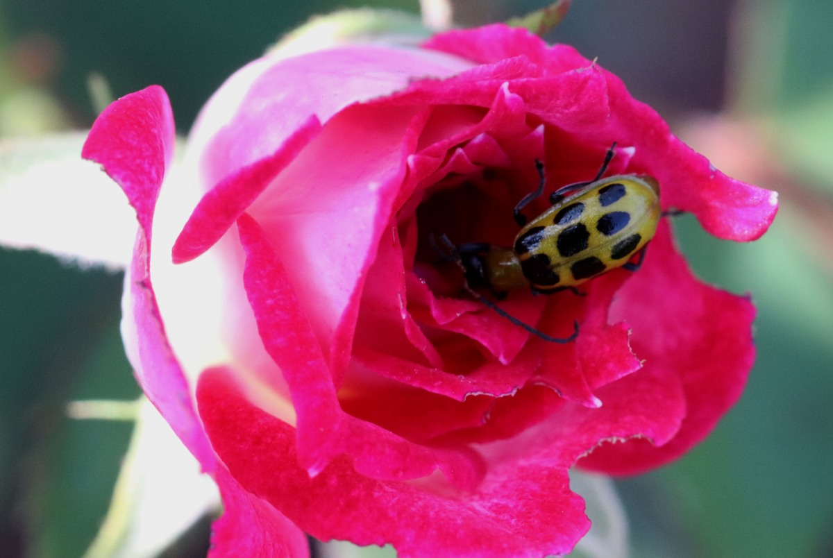 Green and Black Spotted Beetle on Rose