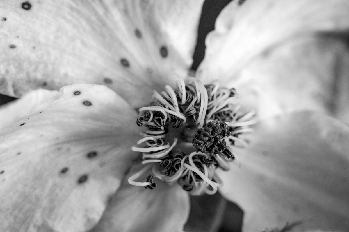 Detail of Rose In Black & White