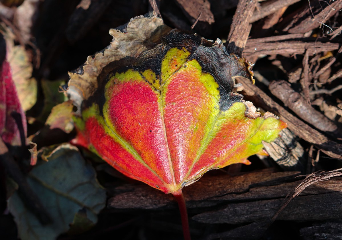 Red and Green Fallen Leaf