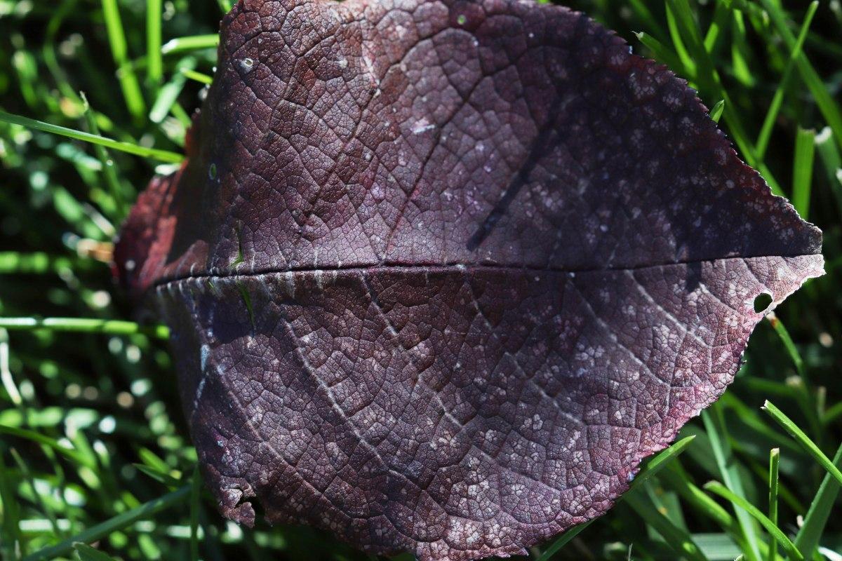Purple Leaf In Grass