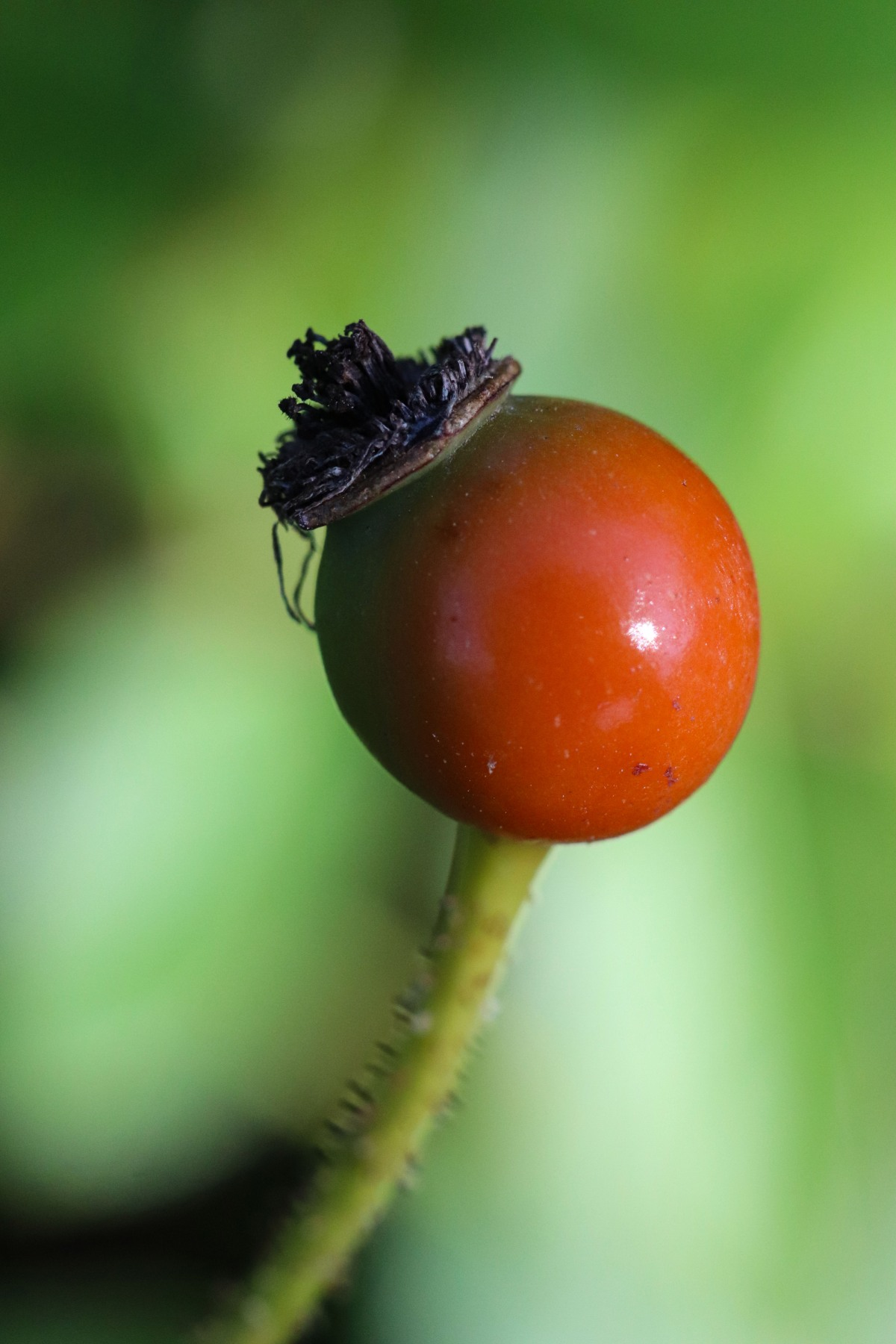 Jaunty Rose Hip