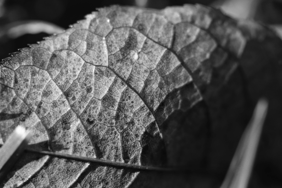 Veiny Leaf In Black & White