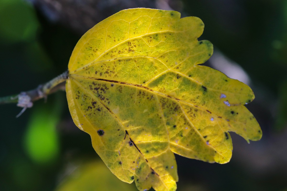 Yellow Green Leaf