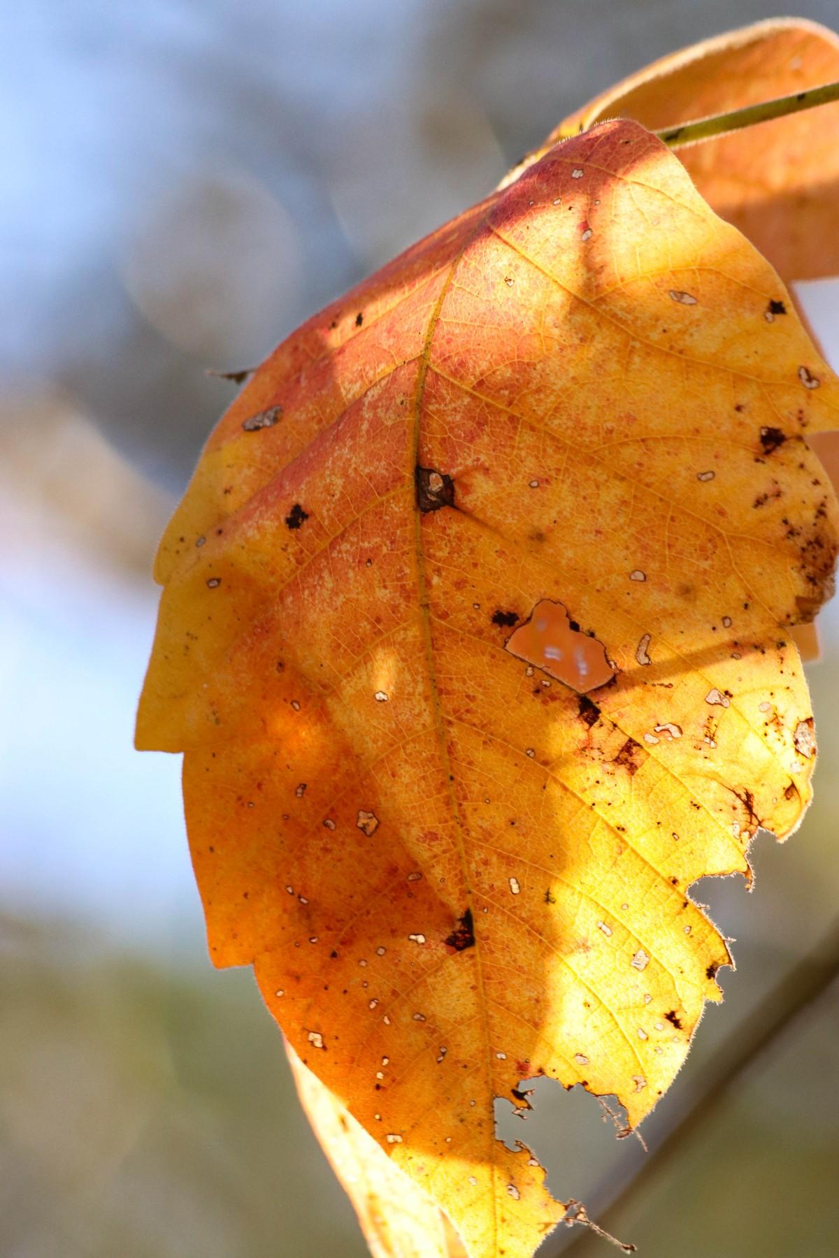 Bug Bitten Yellow and Orange Leaf