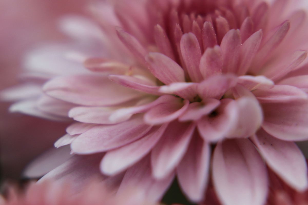 Petal Detail of Pink Mum