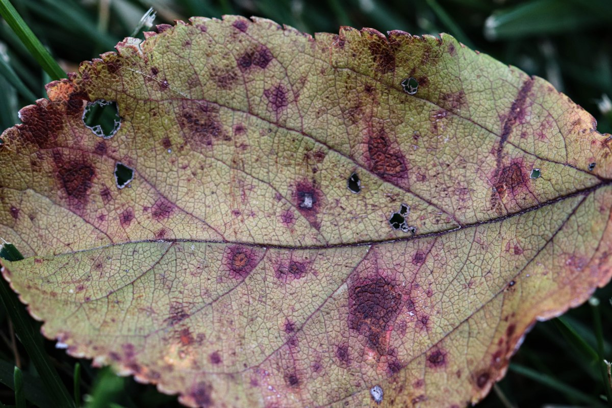 Yellow Leaf with Rusty Spots