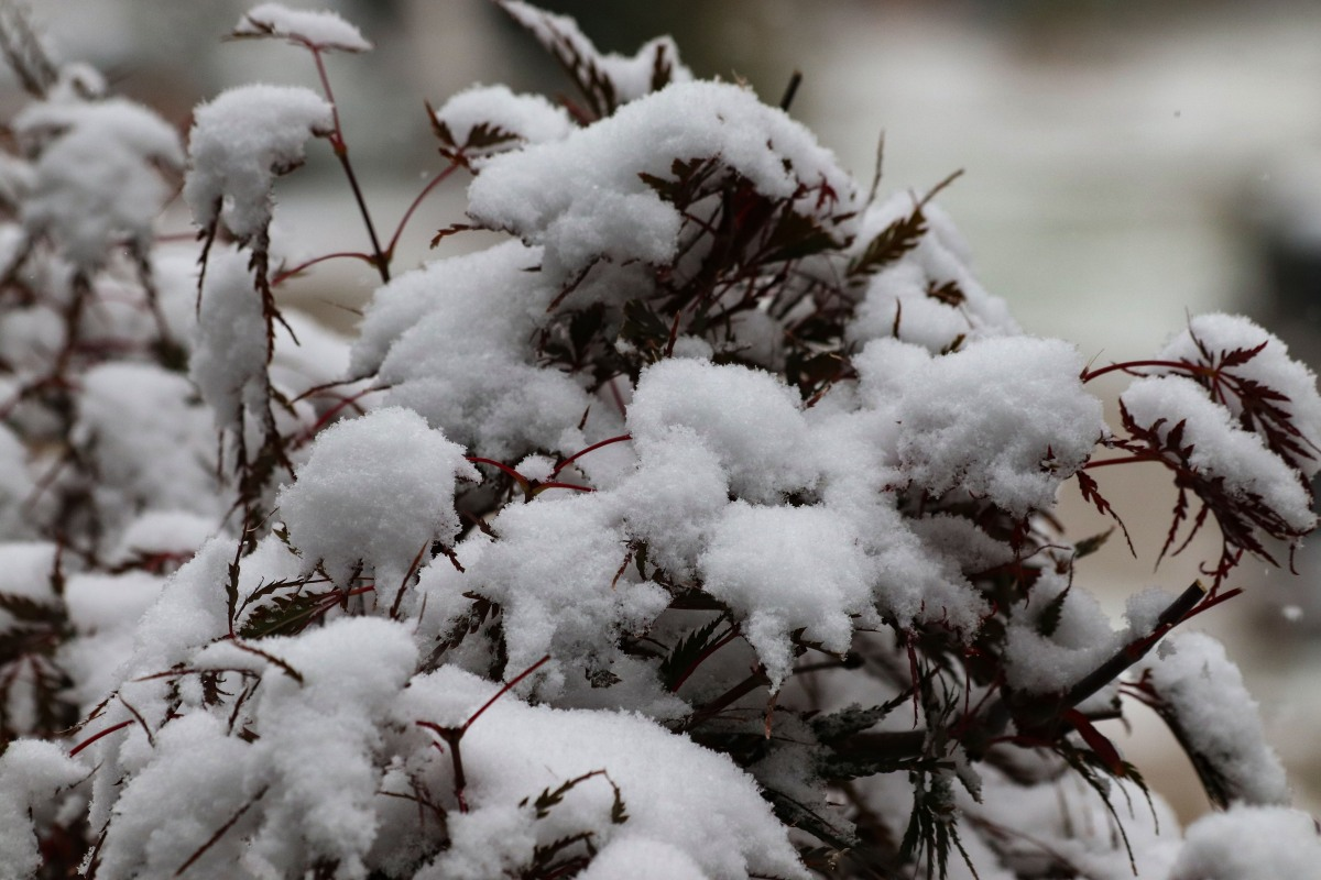 Snow Covering Japanese Maple