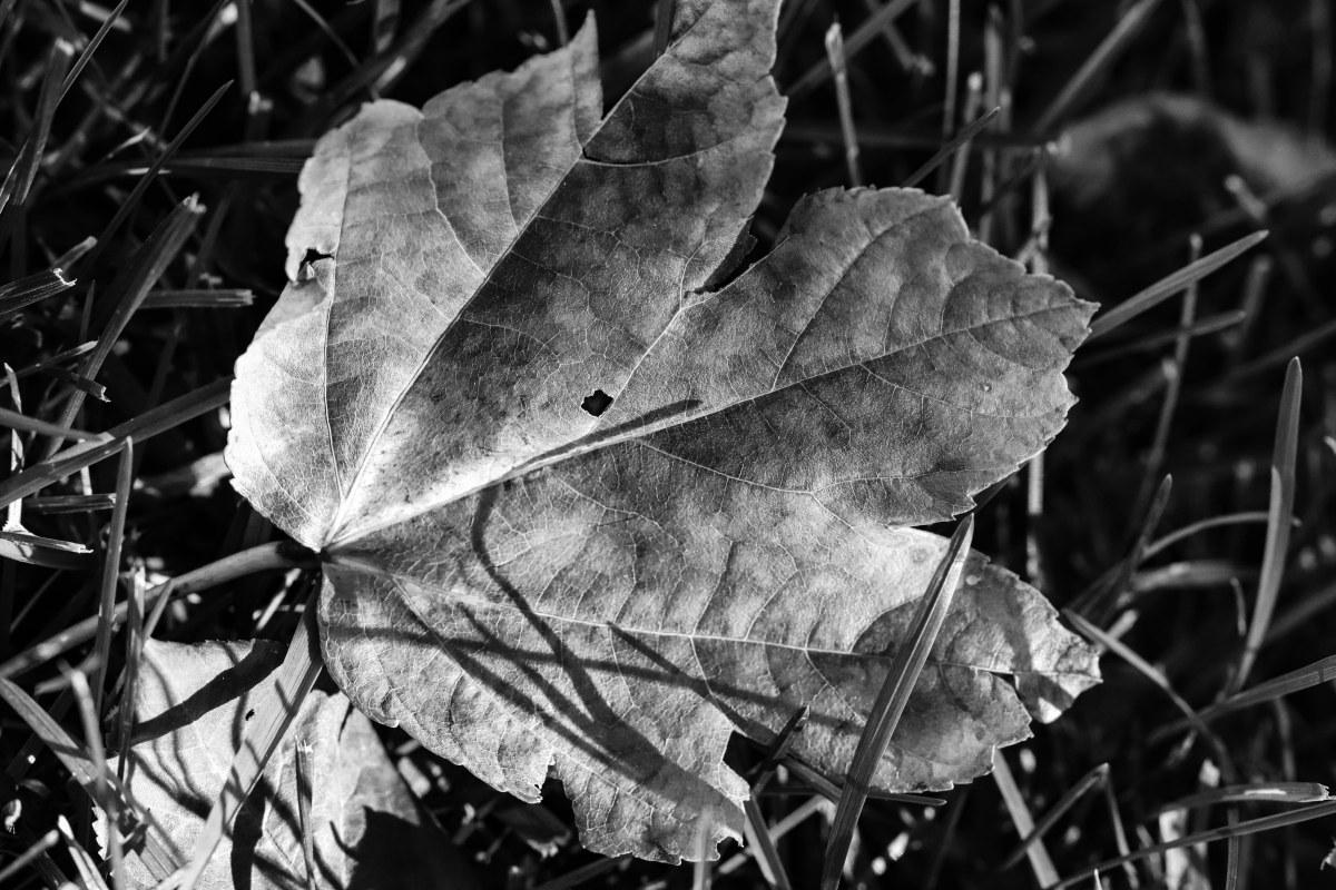 Black & White MapleLeaf