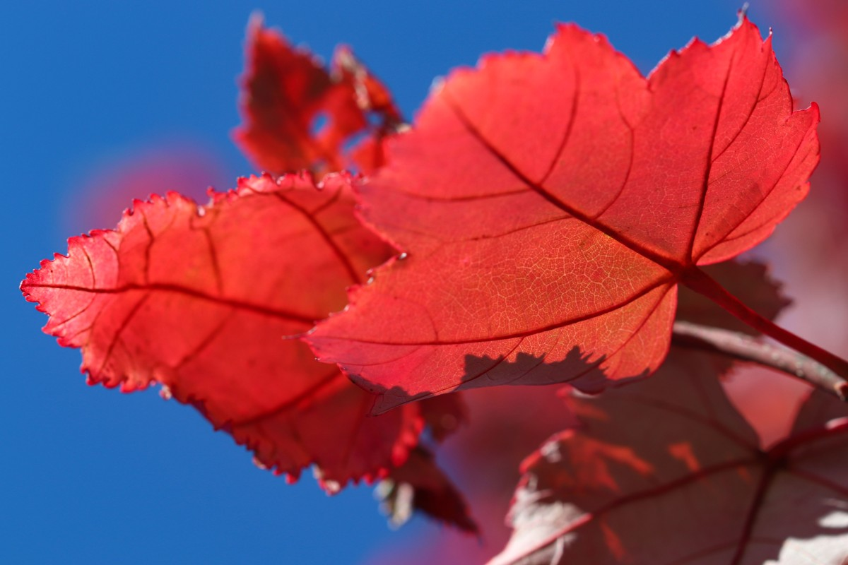 Red Maple Leaves Against Blue Sky