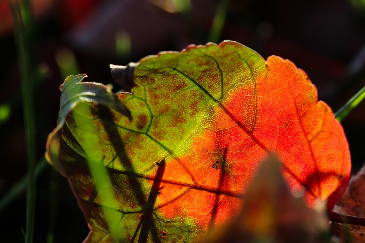 Green and Orange Leaf Backlit By The Sun