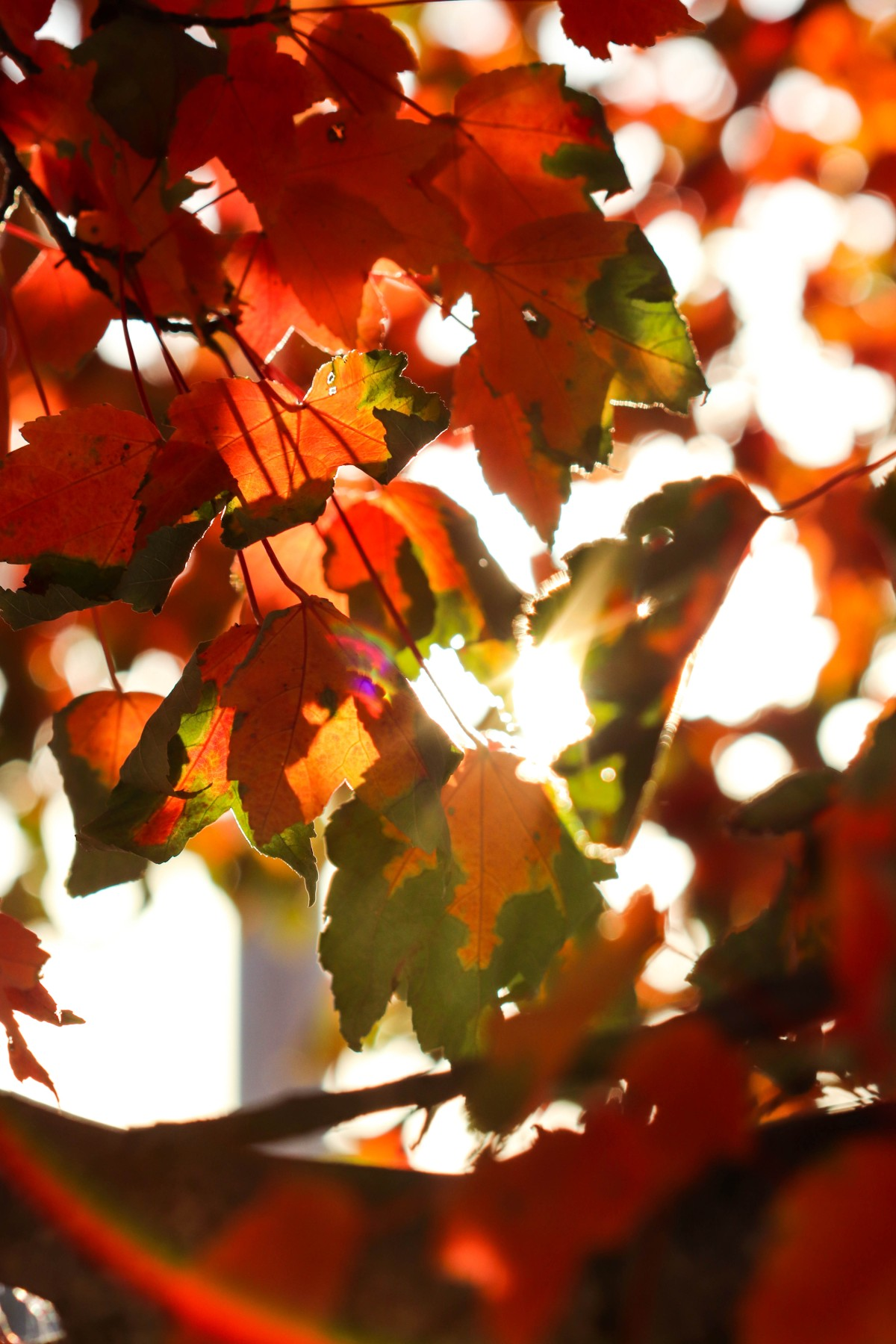 Orange and Green Maple Leaves With Sun Flare Rainbows