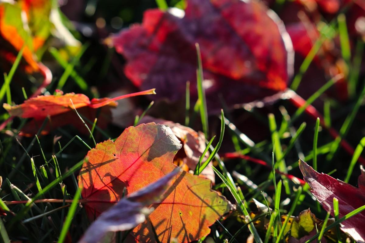 Fallen Maple Leaves In Evening Sun