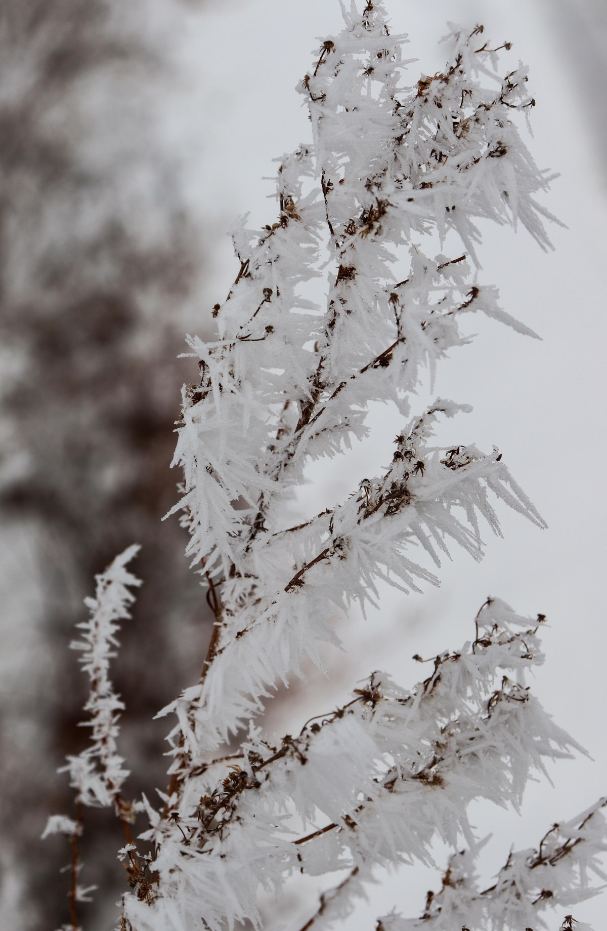 Shards of Frozen Fog Coating A Weed