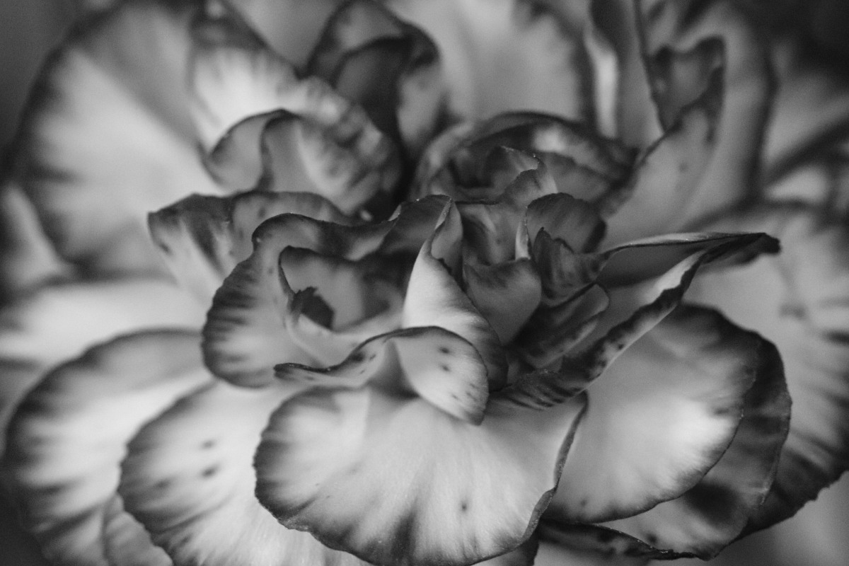 Carnation In Black & White