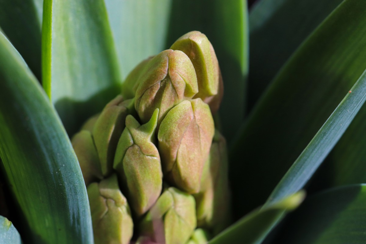 Hyacinth Buds Starting to Take On Color