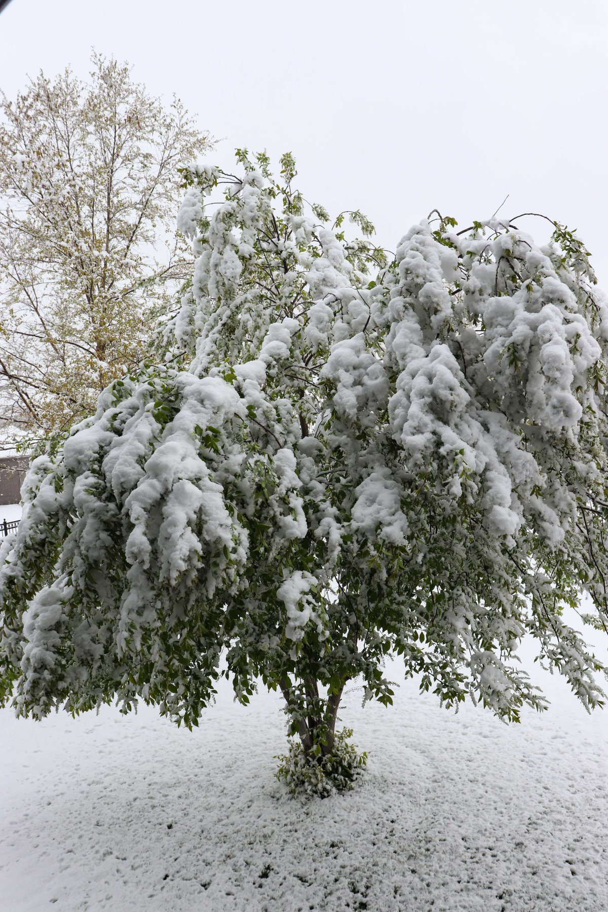 Chokecherry Drooping With Snow