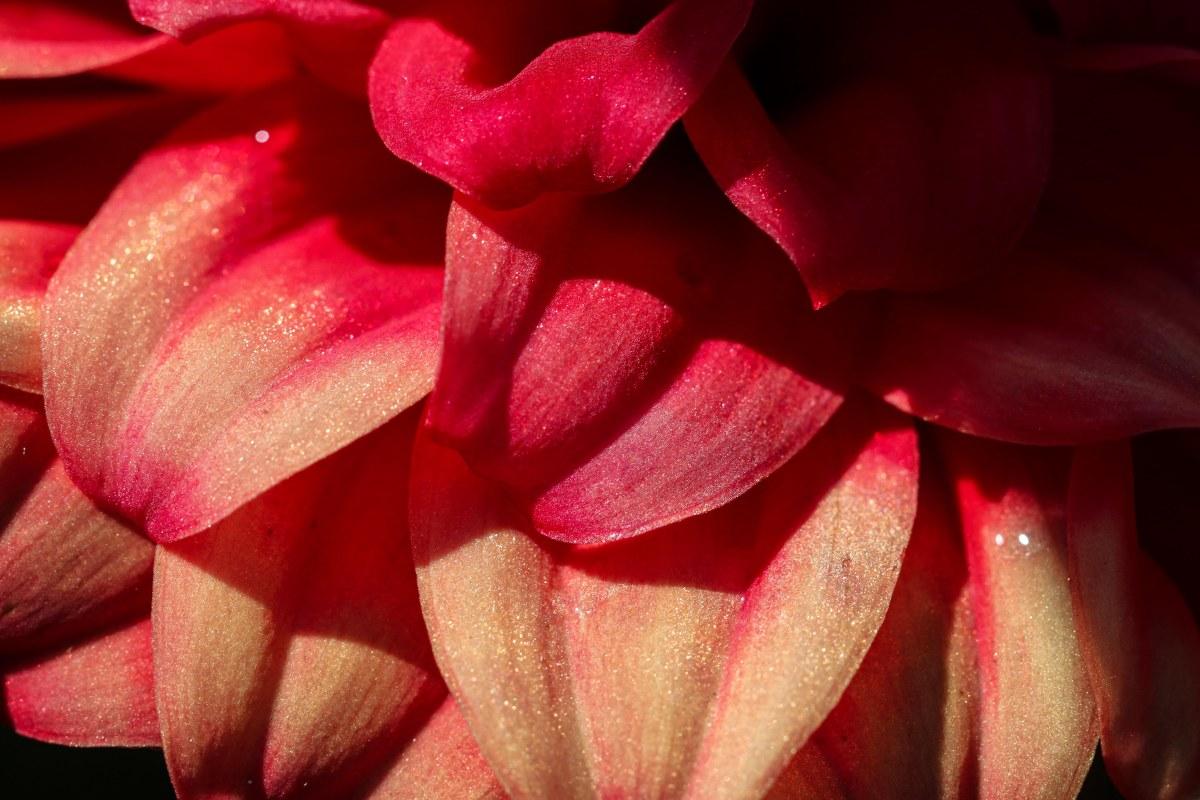 Glittered Dahlia Petals