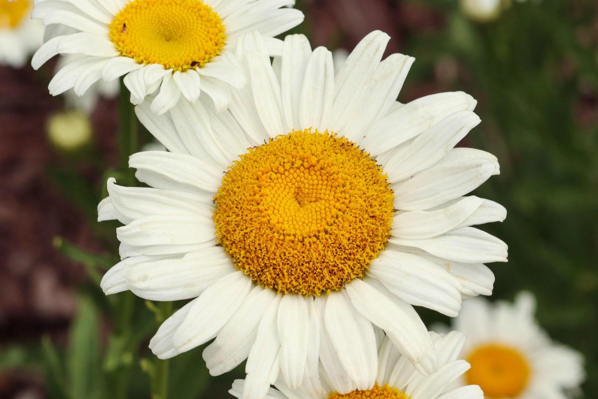 White Shasta Daisies With Fuzzy Yellow Centers